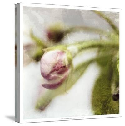 Apple Blossom III--Stretched Canvas Print