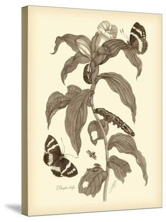 Nature Study in Sepia I-Maria Sibylla Merian-Stretched Canvas Print