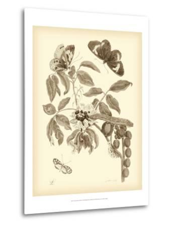 Nature Study in Sepia II-Maria Sibylla Merian-Metal Print