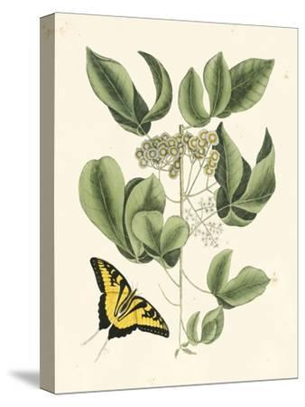 Butterfly and Botanical II-Mark Catesby-Stretched Canvas Print