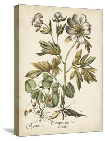 Ivory Peonies III-Besler Basilius-Stretched Canvas Print