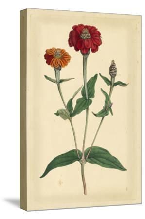Floral Varieties III-Samuel Curtis-Stretched Canvas Print