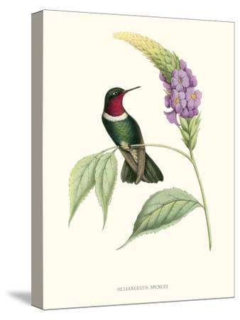 Hummingbird and Bloom II-Mulsant & Verreaux-Stretched Canvas Print