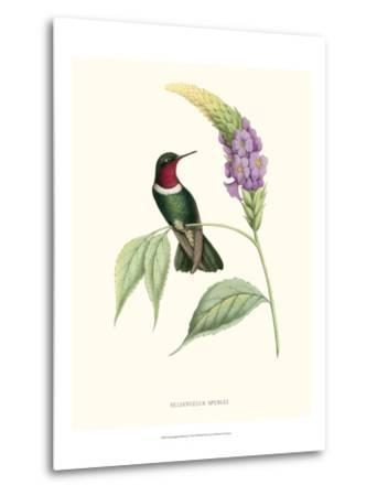 Hummingbird and Bloom II-Mulsant & Verreaux-Metal Print