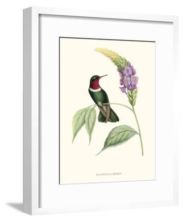 Hummingbird and Bloom II-Mulsant & Verreaux-Framed Art Print
