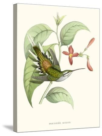 Hummingbird and Bloom III-Mulsant & Verreaux-Stretched Canvas Print