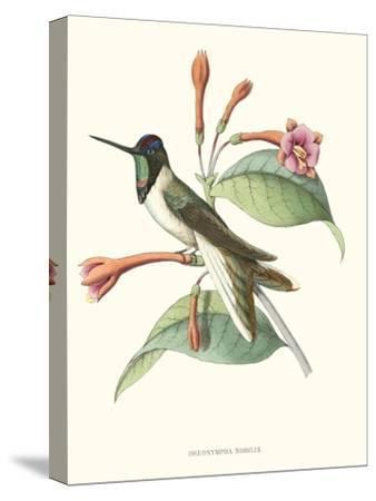 Hummingbird and Bloom IV- Mulsant-Stretched Canvas Print