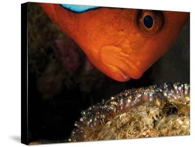 A Male Tomato Clownfish Tends to His Developing Eggs-David Doubilet-Stretched Canvas Print