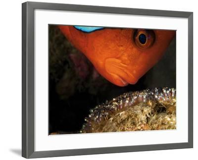 A Male Tomato Clownfish Tends to His Developing Eggs-David Doubilet-Framed Photographic Print