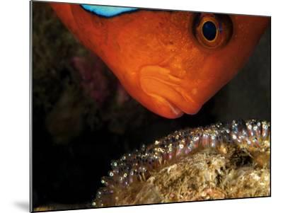 A Male Tomato Clownfish Tends to His Developing Eggs-David Doubilet-Mounted Photographic Print