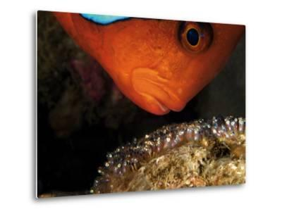 A Male Tomato Clownfish Tends to His Developing Eggs-David Doubilet-Metal Print