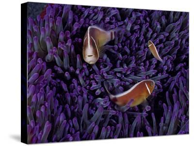 A Female Pink Clownfish Asserts Her Dominance Over a Mature Male-David Doubilet-Stretched Canvas Print