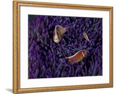 A Female Pink Clownfish Asserts Her Dominance Over a Mature Male-David Doubilet-Framed Photographic Print