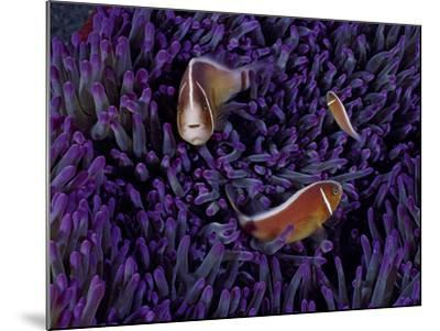 A Female Pink Clownfish Asserts Her Dominance Over a Mature Male-David Doubilet-Mounted Photographic Print