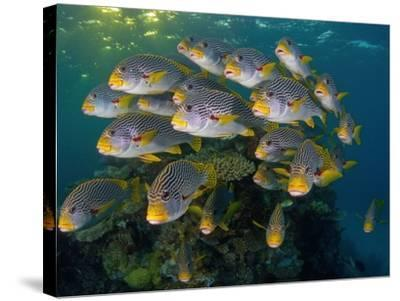 Currents in Challenger Bay Push and Pull Diagonal-Banded Sweetlips-David Doubilet-Stretched Canvas Print