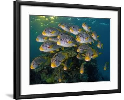 Currents in Challenger Bay Push and Pull Diagonal-Banded Sweetlips-David Doubilet-Framed Photographic Print