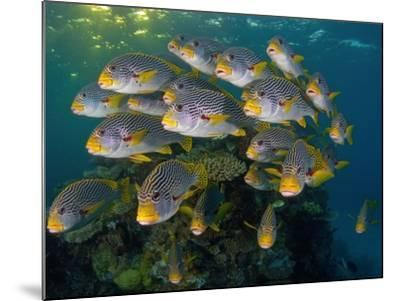 Currents in Challenger Bay Push and Pull Diagonal-Banded Sweetlips-David Doubilet-Mounted Photographic Print
