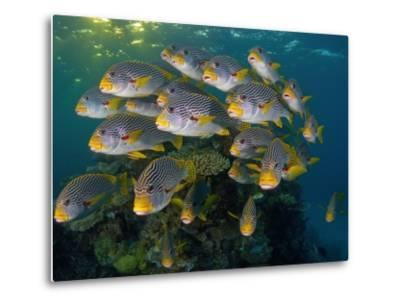 Currents in Challenger Bay Push and Pull Diagonal-Banded Sweetlips-David Doubilet-Metal Print