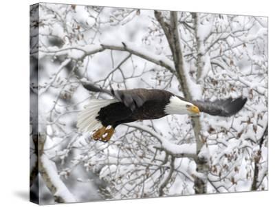 A Bald Eagle, Haliaeetus Leucocephalus, Flying in a Snowy Landscape-Robbie George-Stretched Canvas Print