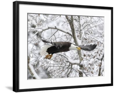 A Bald Eagle, Haliaeetus Leucocephalus, Flying in a Snowy Landscape-Robbie George-Framed Photographic Print