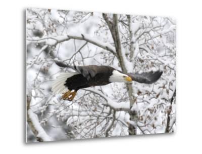 A Bald Eagle, Haliaeetus Leucocephalus, Flying in a Snowy Landscape-Robbie George-Metal Print