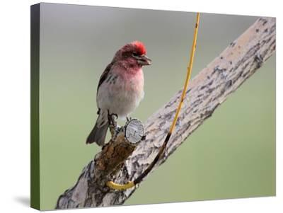 A House Finch, Carpodacus Mexicanus, Perched on a Tree Branch-Robbie George-Stretched Canvas Print