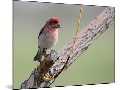 A House Finch, Carpodacus Mexicanus, Perched on a Tree Branch-Robbie George-Mounted Photographic Print
