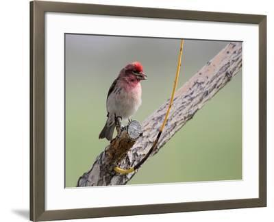 A House Finch, Carpodacus Mexicanus, Perched on a Tree Branch-Robbie George-Framed Photographic Print