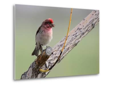 A House Finch, Carpodacus Mexicanus, Perched on a Tree Branch-Robbie George-Metal Print
