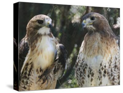 Portrait of a Pair of Red-Tailed Hawks, Buteo Jamaicensis-Amy & Al White & Petteway-Stretched Canvas Print