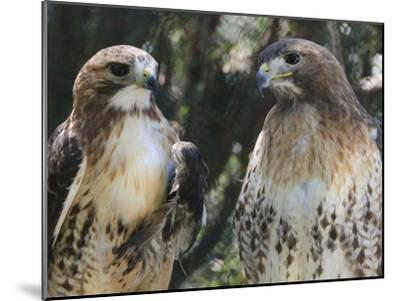 Portrait of a Pair of Red-Tailed Hawks, Buteo Jamaicensis-Amy & Al White & Petteway-Mounted Photographic Print