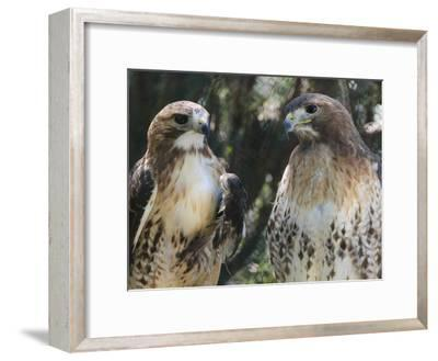 Portrait of a Pair of Red-Tailed Hawks, Buteo Jamaicensis-Amy & Al White & Petteway-Framed Photographic Print