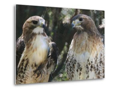 Portrait of a Pair of Red-Tailed Hawks, Buteo Jamaicensis-Amy & Al White & Petteway-Metal Print