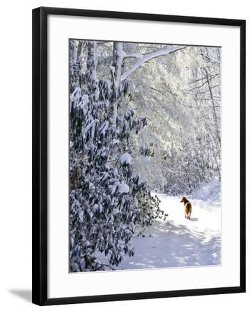 A Pet Dog Walking Up a Snow-Covered Road-Amy & Al White & Petteway-Framed Photographic Print