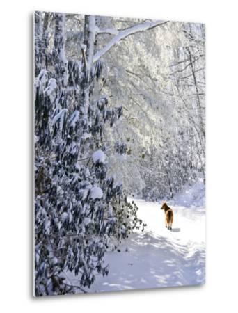 A Pet Dog Walking Up a Snow-Covered Road-Amy & Al White & Petteway-Metal Print