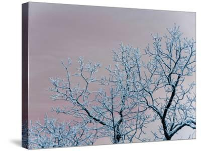 Tree Branches Covered in Rime Ice-Amy & Al White & Petteway-Stretched Canvas Print