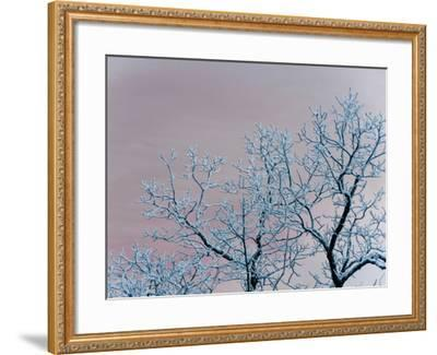 Tree Branches Covered in Rime Ice-Amy & Al White & Petteway-Framed Photographic Print