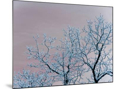 Tree Branches Covered in Rime Ice-Amy & Al White & Petteway-Mounted Photographic Print