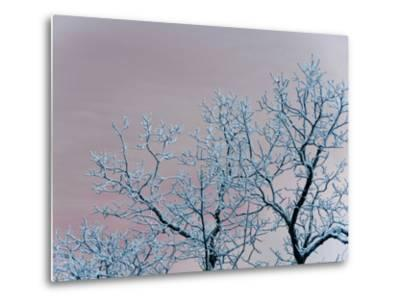 Tree Branches Covered in Rime Ice-Amy & Al White & Petteway-Metal Print