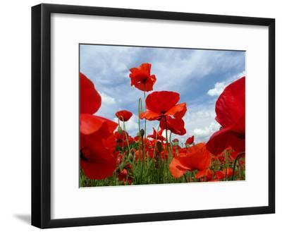 A Field of Red Poppies in Bloom under a Cloud-Filled Sky-Amy & Al White & Petteway-Framed Photographic Print