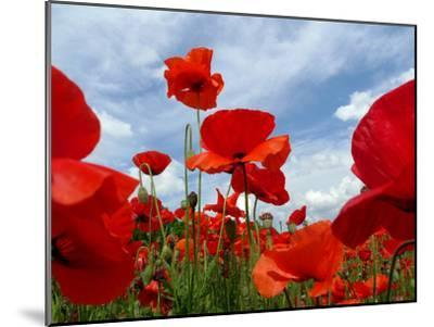 A Field of Red Poppies in Bloom under a Cloud-Filled Sky-Amy & Al White & Petteway-Mounted Photographic Print