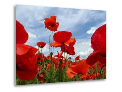 A Field of Red Poppies in Bloom under a Cloud-Filled Sky-Amy & Al White & Petteway-Metal Print