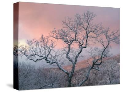 A Pink Dawn and Frosty Trees in the Blue Ridge Mountains-Amy & Al White & Petteway-Stretched Canvas Print