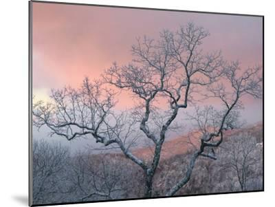 A Pink Dawn and Frosty Trees in the Blue Ridge Mountains-Amy & Al White & Petteway-Mounted Photographic Print