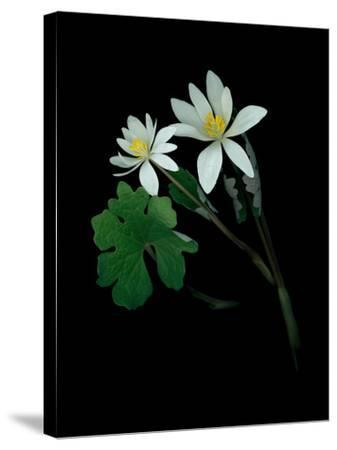 A Scan of a Bloodroot Plant, Sanguinaria Canadensis, in Bloom-Amy & Al White & Petteway-Stretched Canvas Print
