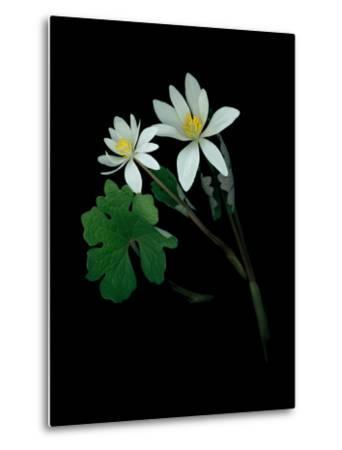 A Scan of a Bloodroot Plant, Sanguinaria Canadensis, in Bloom-Amy & Al White & Petteway-Metal Print