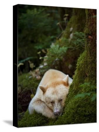 A Spirit or Kermode Bear, Resting on a Bed of Moss-Jed Weingarten/National Geographic My Shot-Stretched Canvas Print