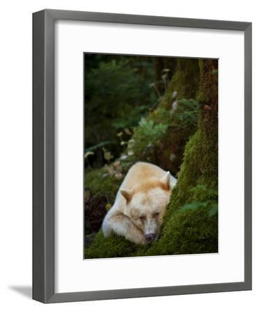A Spirit or Kermode Bear, Resting on a Bed of Moss-Jed Weingarten/National Geographic My Shot-Framed Photographic Print