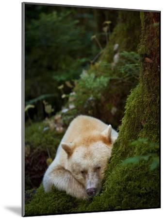 A Spirit or Kermode Bear, Resting on a Bed of Moss-Jed Weingarten/National Geographic My Shot-Mounted Photographic Print