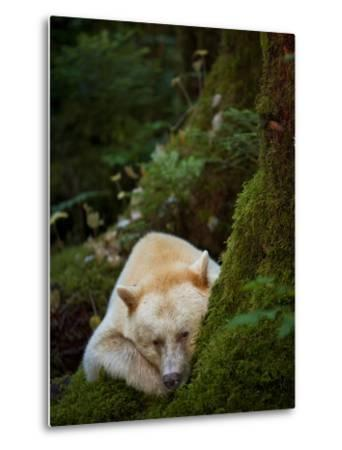 A Spirit or Kermode Bear, Resting on a Bed of Moss-Jed Weingarten/National Geographic My Shot-Metal Print